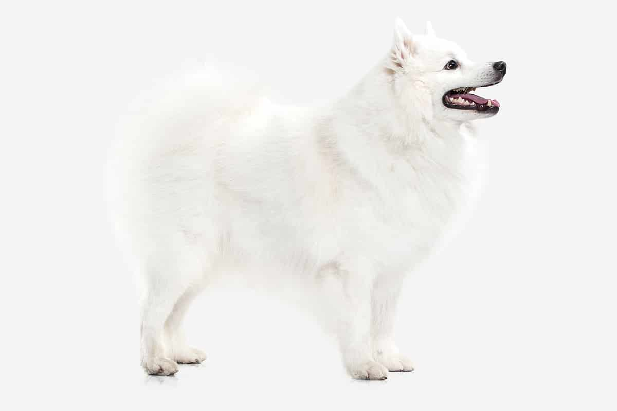 How Do You Take Care of a Japanese Spitz