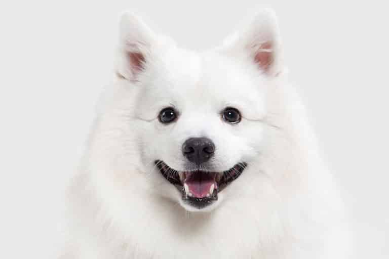 What Type of Dog Is Japanese Spitz