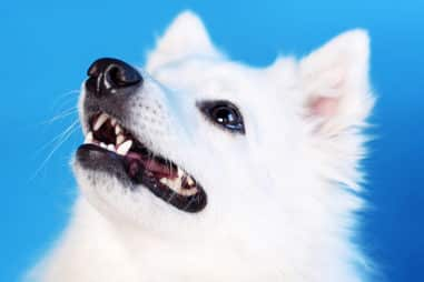 Why You Should Not Get a Japanese Spitz